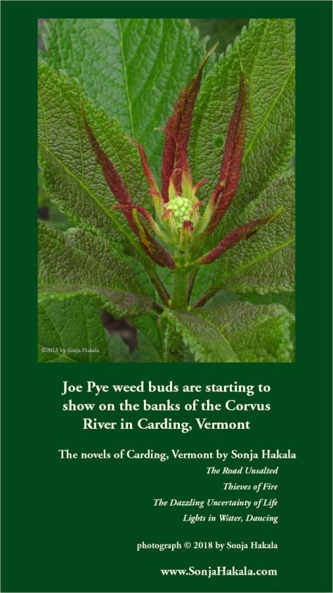 SH-Joe Pye weed bud