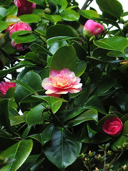 Camellias at Trelisik