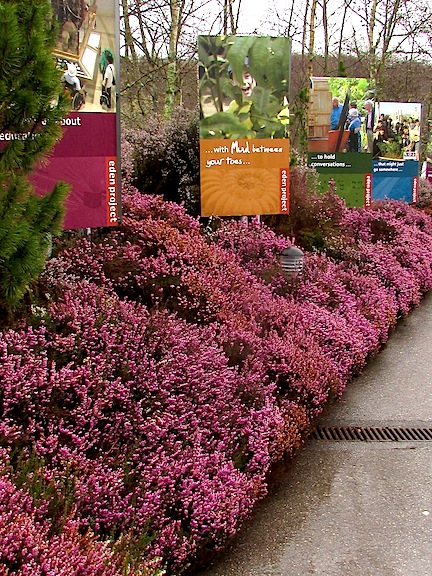Heather in bloom at Eden Project