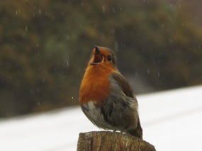 Singing robin at Eden Project