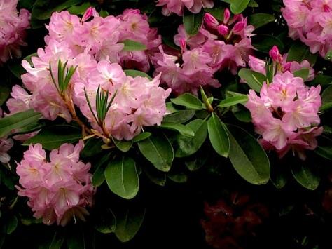 Kew rhodies 3