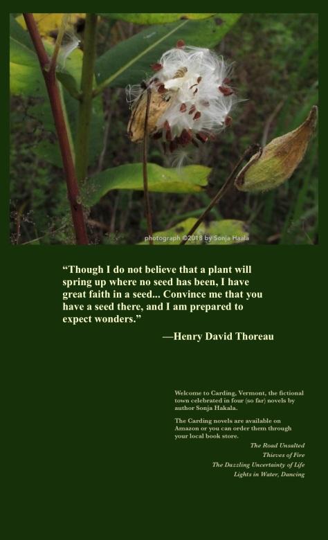 SH-milkweed in seed