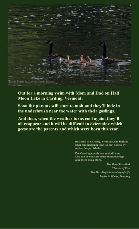 SH-Geese and goslings