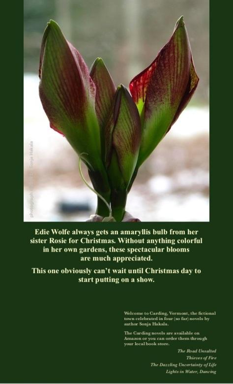 SH-Red amaryllis bud